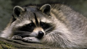 Animals_Cute_pet_raccoon_108751_